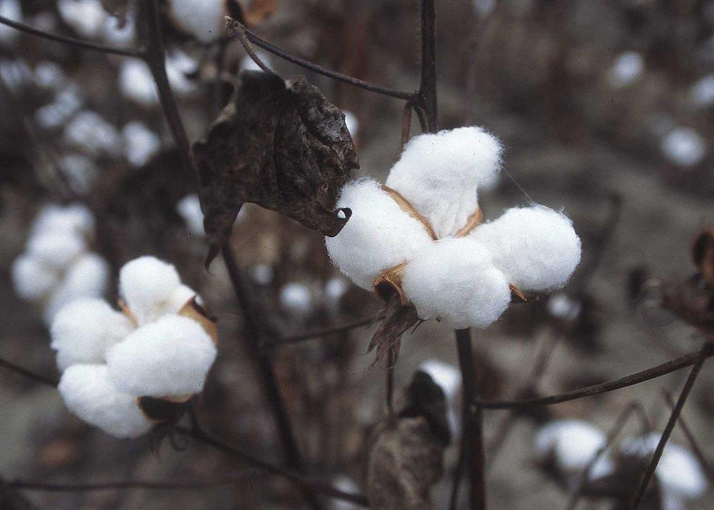1280px-CottonPlant.JPG