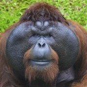 Орангутанг